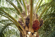 palm fruit in the tree